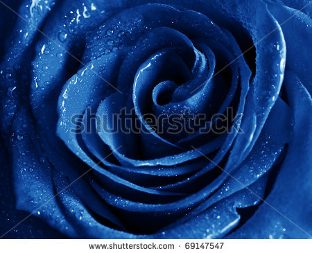 stock-photo-beautiful-blue-rose-with-water-drops-69147547