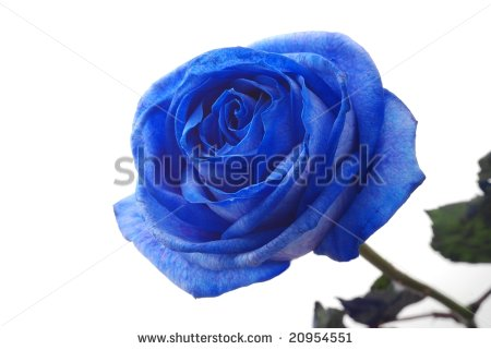 stock-photo-close-up-of-blue-rose-against-white-background-20954551